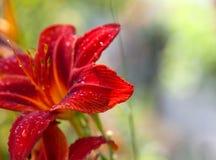 Bloem van bloesem de rode lelies met dalingen van dauw Royalty-vrije Stock Foto