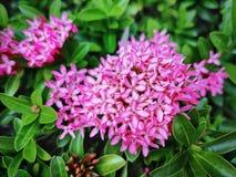 Bloem van close-up de Verse Trillende Roze Ixora met Selectieve Nadruk royalty-vrije stock foto