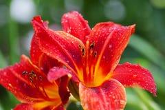 Bloem van de bloesem de rode lelie met waterdalingen Royalty-vrije Stock Afbeelding