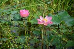 bloem van de bloesemlotusbloem, mooie lotusbloembloem die in de ochtend, Roze lotusbloem, Nelumbo-nuciferabloem de drijven Royalty-vrije Stock Afbeeldingen
