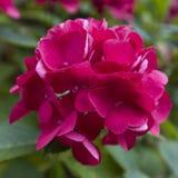 Bloem van de Cerise de roze Hydrangea hortensia in dichte omhooggaand Royalty-vrije Stock Afbeeldingen