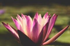 Bloem van de close-up de mooie purpere lotusbloem enkel één bloem in een lagune met zijn bladeren op het water stock foto's