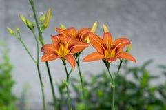 Bloem van de de daglelie van Hemerocallisfulva parkeert de sier in bloei, sier bloeiende installatie met oranje bloemen en knoppe Stock Foto