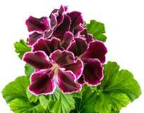 Bloem van de fluweel is de purpere geranium met groene bladeren geïsoleerd op w royalty-vrije stock afbeelding