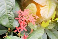 Bloem van de Ixora de Rode aar Het bloeien chinensis Ixora van koningsIxora De bloem van Ixoracoccinea op boom in de tuin De zome Royalty-vrije Stock Foto's