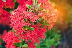 Bloem van de Ixora de Rode aar Het bloeien van koningsIxora (chinensis Ixora) IX Stock Fotografie