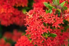 Bloem van de Ixora de Rode aar Het bloeien van koningsIxora (chinensis Ixora) IX Stock Afbeelding