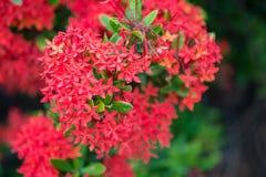 Bloem van de Ixora de Rode aar Het bloeien van koningsIxora (chinensis Ixora) IX Royalty-vrije Stock Foto's