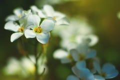 Bloem van de lente de witte frangipani Stock Foto