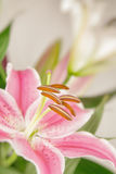 Bloem van de pastelkleur de roze lelie Royalty-vrije Stock Fotografie