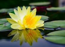 Bloem van de waterlelie de Mooie lotusbloem Stock Afbeelding