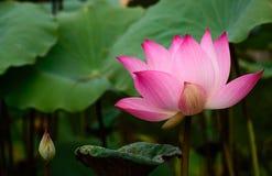 Bloem van de waterlelie de Mooie lotusbloem Royalty-vrije Stock Fotografie