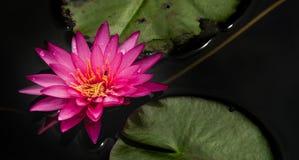 Bloem van de waterlelie de Mooie lotusbloem Royalty-vrije Stock Foto