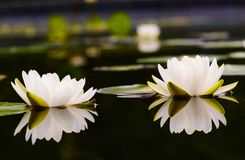 Bloem van de waterlelie de Mooie lotusbloem Stock Afbeeldingen