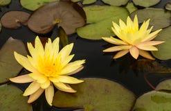 Bloem van de waterlelie de Mooie lotusbloem Royalty-vrije Stock Afbeelding