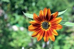 Bloem van decoratieve oranje zonnebloem Stock Foto's