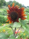 Bloem van decoratieve oranje zonnebloem in de tuin Stock Foto
