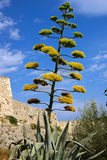 Bloem van een agave op een achtergrond van de blauwe hemel Royalty-vrije Stock Afbeelding