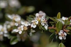 Bloem van een beredruif cotoneaster, Cotoneaster-dammeri royalty-vrije stock foto's
