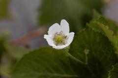 Bloem van een fruticosus van braambessenrubus Stock Foto
