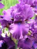 Bloem van een iris Stock Afbeeldingen