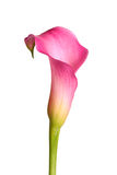Bloem van een roze die calla lelie op wit wordt geïsoleerd Stock Afbeeldingen