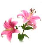 Bloem van een roze lelie Stock Afbeelding