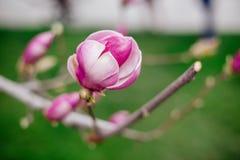 Bloem van een roze magnolia royalty-vrije stock fotografie