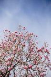 Bloem van een roze magnolia royalty-vrije stock afbeelding