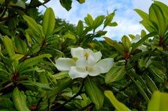 Bloem van een witte magnolia tegen een blauwe hemelachtergrond Stock Fotografie