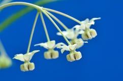 Bloem van fruticosa Asclepias stock foto's
