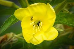 Bloem van gemeenschappelijke teunisbloem (Oenothera-biennis) stock afbeeldingen