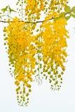 Bloem van Gouden Doucheboom stock foto