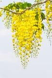 Bloem van Gouden Doucheboom royalty-vrije stock foto