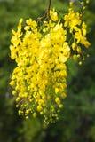 Bloem van Gouden Doucheboom stock afbeelding
