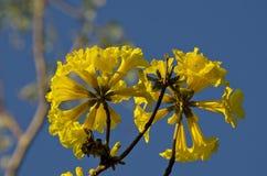 Bloem van Gouden Trompetboom stock foto
