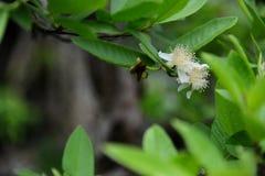 Bloem van guaveboom Stock Foto