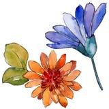 Bloem van het waterverf de kleurrijke Afrikaanse madeliefje Bloemen botanische bloem Geïsoleerd illustratieelement stock illustratie