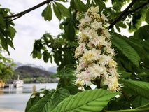 Bloem van hippocastanum van Aesculus van de Paardekastanjeboom royalty-vrije stock foto