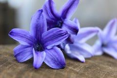 Bloem van hyacint Royalty-vrije Stock Foto