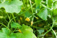 Bloem van komkommer het groeien op bedden in de tuin Stock Fotografie