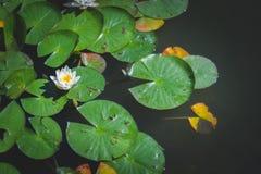 Bloem 3 van Lotus Royalty-vrije Stock Foto's