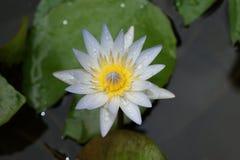 Bloem van lotusbloem stock foto