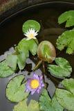 Bloem van lotusbloem royalty-vrije stock foto's