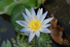 Bloem van lotusbloem royalty-vrije stock afbeeldingen