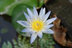 Bloem van lotusbloem royalty-vrije stock fotografie