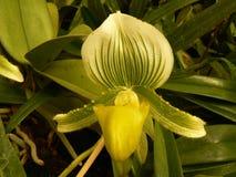 Bloem van orchidee Royalty-vrije Stock Afbeeldingen