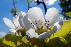 Bloem van peer in bloei Stock Afbeelding