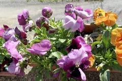 Bloem van petunia Stock Foto's