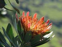 Bloem van protea, Zuid-Afrika Stock Foto